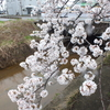 春の雨に濡れながら咲こうとする小さな桜の花びら