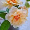 鉢植えバラの夏バテ