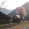 茅と桜植樹