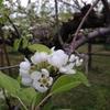 桜の後は、桃と梨の花が咲きますよ!