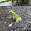 雨蛙アマリンの受難
