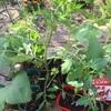 夏向け野菜の植え付けと、また花を買っちゃった