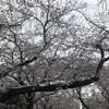 満開の桜、季節外れの雪