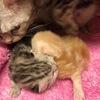 マンチカンの梅ちゃん♡かわいい赤ちゃんを産みました♡