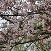手賀沼の桜とヒクイナ