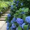 【四季を訪ねて】鎌倉 「明月院」 ~ 紫陽花と花菖蒲