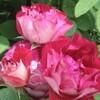 バラたちの管理、流れを少し