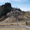 滝桜(田村郡三春町)