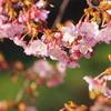 蝶屋桜の名所づくり(後編)