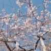 2021年 龍岩淵、岩本山などの桜の開花状況