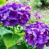 引き続き紫陽花
