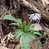 ツクシショウジョウバカマの花の色