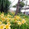ポートディスカバリーで見られる黄色い花