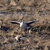 田んぼから飛び立つ前のオオヒシクイ