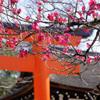 【京都】尾形光琳も描いた?!鮮やかなピンクの梅 下鴨神社