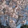 桜のシーズンです