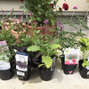 夏の花苗を購入