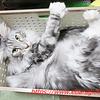 威嚇猫シルル・ワクチン注射をする:メインクーン猫シルルのもふもふ
