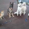 アニマリュージョン犬、初の8頭お散歩