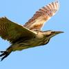 青空を優雅に飛ぶサンカノゴイ