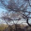 桜 満開〜〜〜ですっ!!