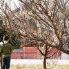 雪が残る中、梅が開花@福井県小浜市-高浜町