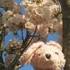 うさちゃんと桜のコラボ写真企画!!!!!!!(笑)