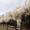 兵庫県宝塚市)中山寺の白い藤。園芸店の花。