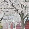 散る桜、来る季節。