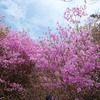 兵庫県西宮)廣田神社、20,000株のコバノミツバツツジ群落。見ごろ。