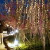 【京都】梅の名所でライトアップ 北野天満宮