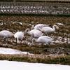 小友沼の白鳥3(秋田県能代市)
