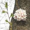 花びらはらはら 谷中の桜開花状況 & 根津神社の桜とつつじ 4月7日(金)