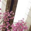桜満開! @千葉 & @四ツ谷
