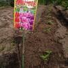 鳳仙花の苗を植えました@新潟EMBC複合発酵バイオで栽培する健康農産物の会