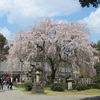 サクラ、足羽神社のしだれ桜