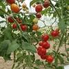 トマトと種まきと枝豆