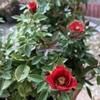 花が咲いているミニバラの様子(8月21日)