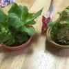 キャベツ盆栽。。。