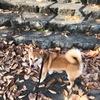 フツーの散歩 VS. 追いかける散歩 - MAX Slipped His Collar