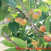 サクランボと蜜柑と柿の花