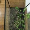 グリーンロタラの水上葉をミスト式で育ててみることにしました