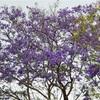 アペリラ ʻApelila ( 四月 )
