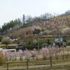 花見山周辺のひかん桜は1週間早く咲き始めました。