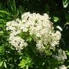 ピラカンサスの花、、、