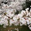 近所の公園に桜を見に行きました!