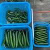 ナガノパープル収穫