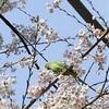グルメインコによる「桜の蜜ランキング」なんてあったら愉快だな