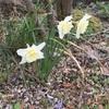 庭の花〜2017春(1)