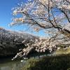 下条川の桜を早朝に